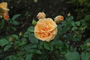 rose-1575215_640